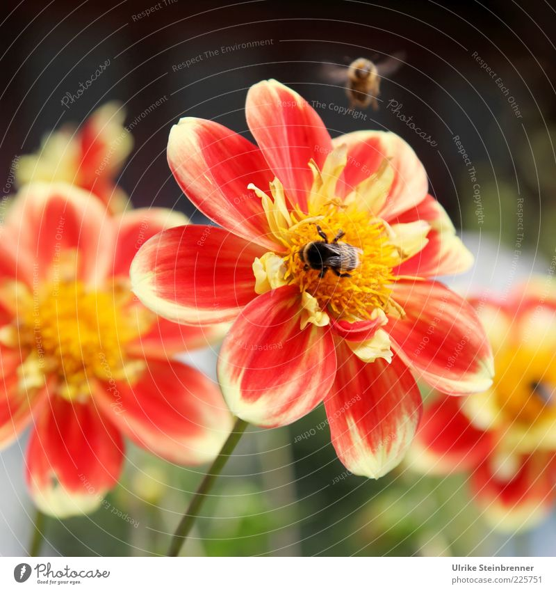 Red Summer Flower Colour Blossom Orange Flying Wing Bee Beautiful weather Pollen Blossom leave Multicoloured Summery Pistil Animal