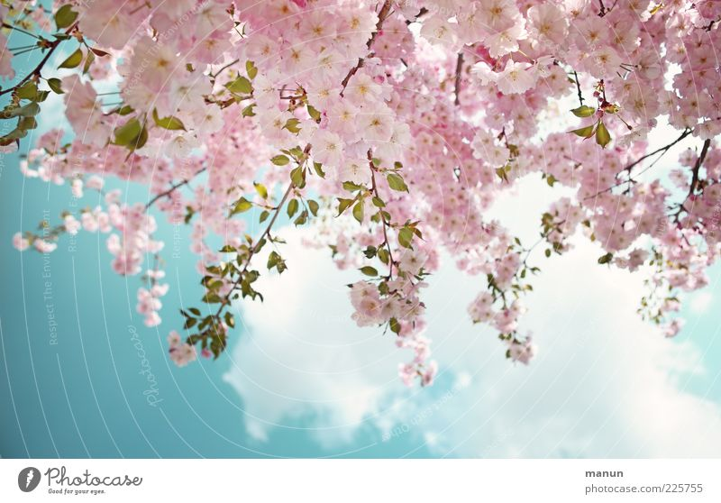 adornment Nature Sky Clouds Spring Beautiful weather Tree Leaf Blossom Ornamental cherry Cherry blossom Blossoming Fresh Bright Pink Spring fever Colour photo