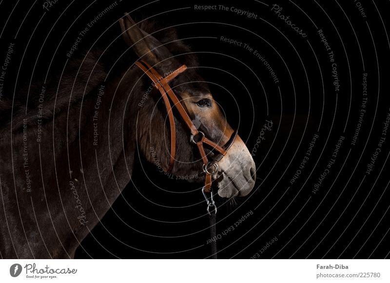 hinnies Animal Pet Farm animal Horse Animal face 1 Brown Black Serene Boredom Reluctance Indifferent Comfortable Break Colour photo Studio shot Deserted