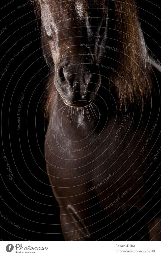 Schetti fur nose Animal Pet Farm animal Horse Animal face Pelt 1 Black Power Willpower Brave Colour photo Studio shot Neutral Background Flash photo Low-key