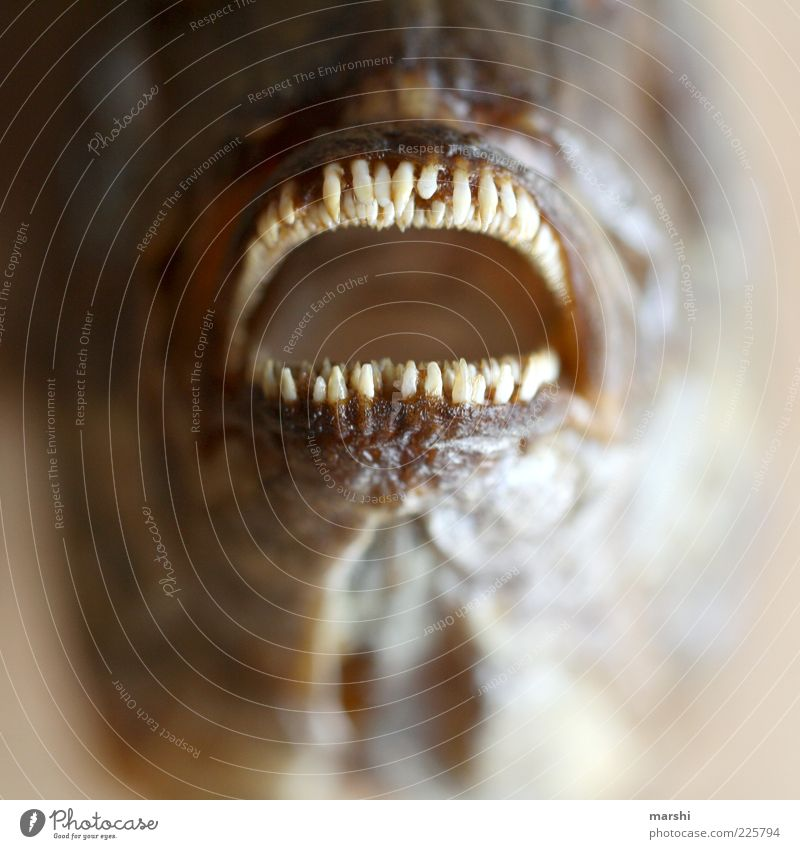 Animal Nutrition Fish Fish Teeth Animal face Point Set of teeth Blur Tilt Muzzle Mouth Human being Close-up Dorade
