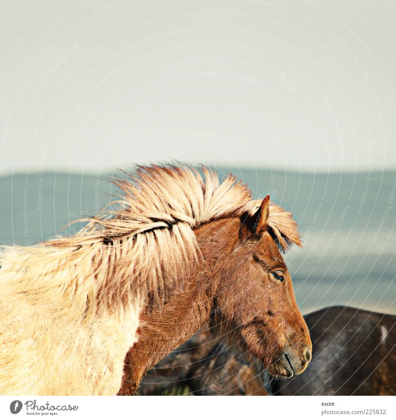 Sky Animal Moody Natural Wind Wild animal Wait Stand Esthetic Horse Pelt Animal face Iceland Pony Farm animal