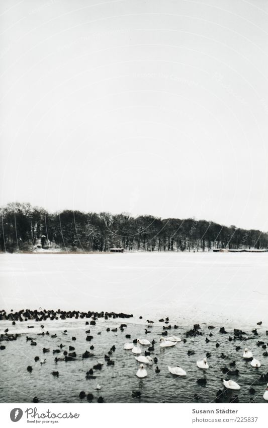 Winter Snow Lake Waves Ice Swimming & Bathing Frost Group of animals Frozen Lakeside Duck Snowscape Float in the water Swan Mecklenburg-Western Pomerania