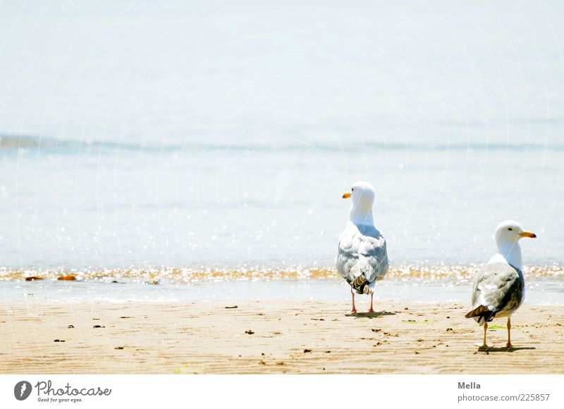 twosome Environment Nature Landscape Sand Water Waves Coast Beach Animal Bird Seagull Silvery gull 2 Pair of animals Looking Stand Together Bright Natural Blue