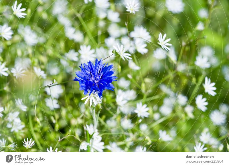 girl's photo Plant Spring Summer Flower Blossom Blue Green White Cornflower Close-up Macro (Extreme close-up) Deserted Flower meadow Detail Blossom leave Blur