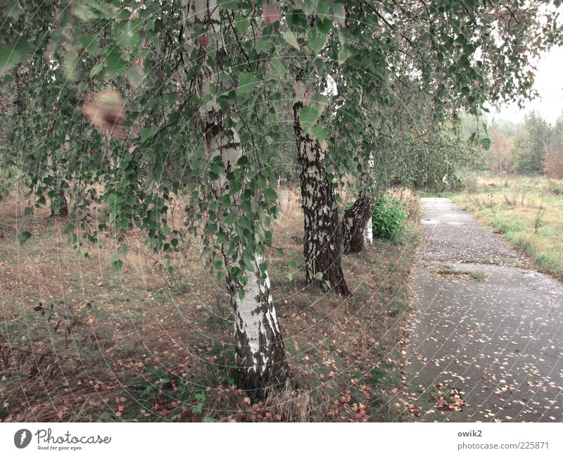 Old street Environment Nature Landscape Plant Horizon Autumn Climate Weather Wind Gale Tree Grass Bushes Leaf Foliage plant Wild plant Birch tree Meadow Forest