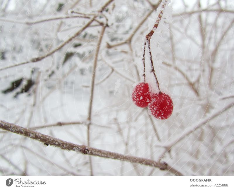 Red berries in winter dress Winter Ice Frost Snow Plant Tree Bushes Wild plant Cold Natural Beautiful Brown White Moody Environment Colour photo Exterior shot