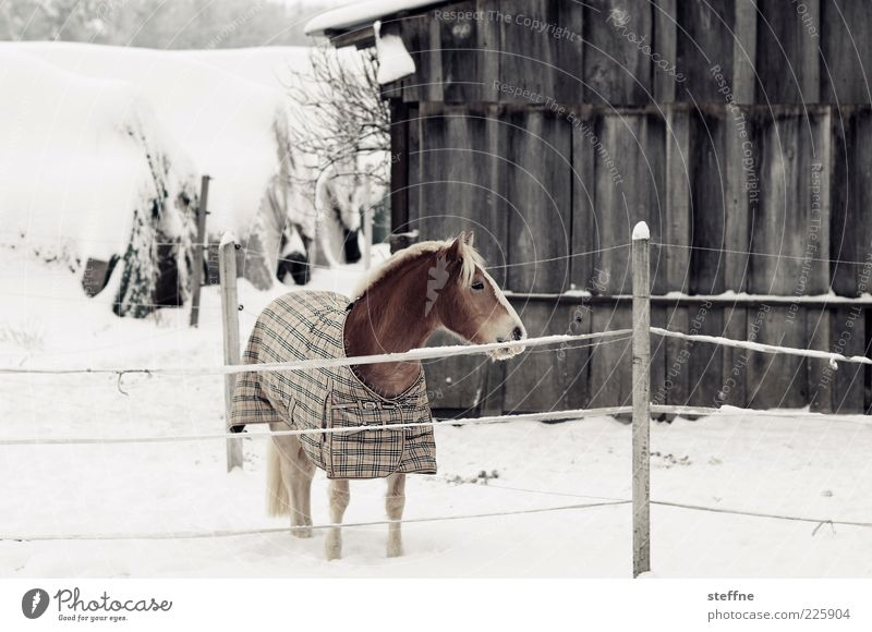 When horses are depressed, the earth is happy Winter Snow Horse 1 Animal Esthetic Beautiful Colour photo Subdued colour Exterior shot Animal portrait Bangs Mane