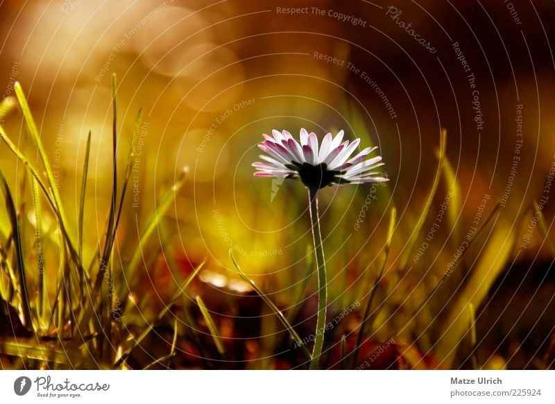 Nature White Green Plant Flower Meadow Autumn Grass Lamp Stalk Daisy Blossom leave Lens flare Wild plant