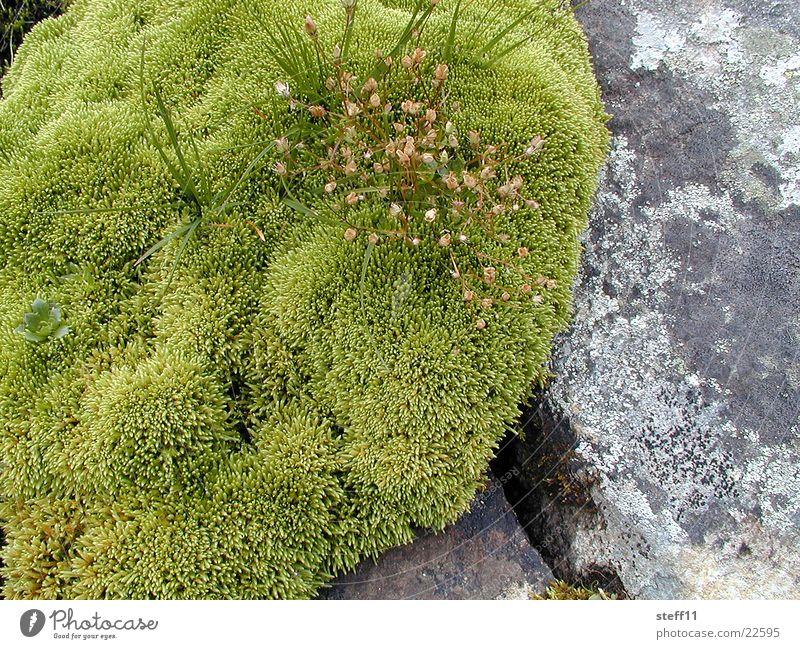 Green Blossom Stone Moss