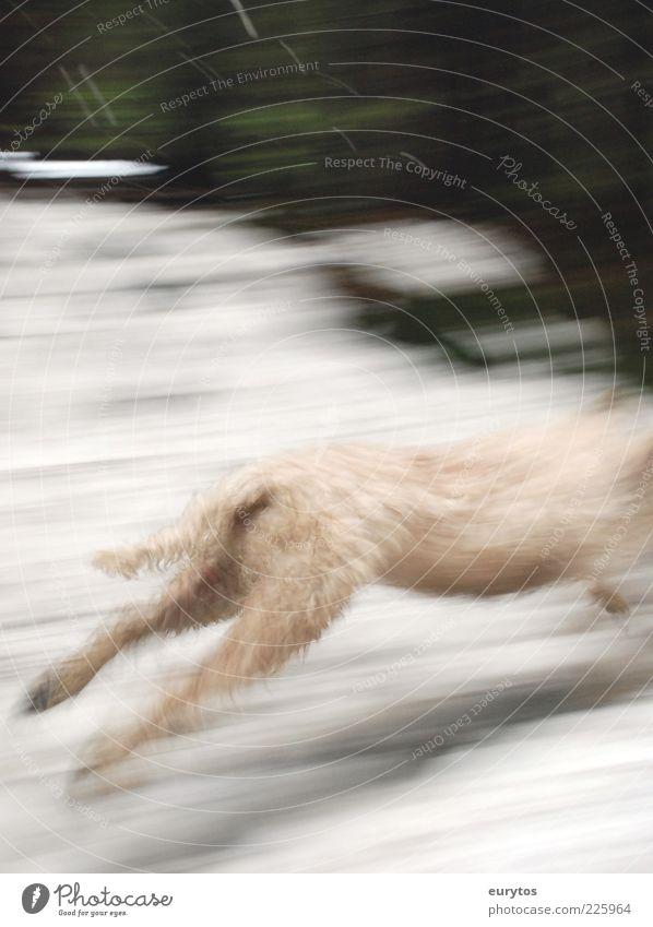 White Dog Animal Bright Running Pelt Escape Tails Headless Movement Dog racing Hind leg