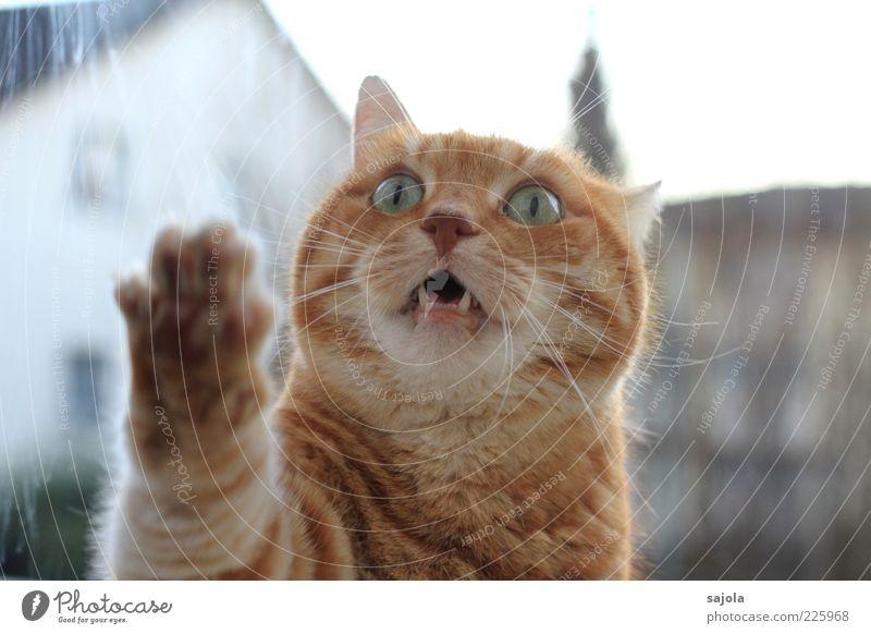 Animal Cat Orange Animal face Desire Pelt Paw Pet Window pane Ask Expectation Panic Aggression Muzzle Domestic cat Scratch