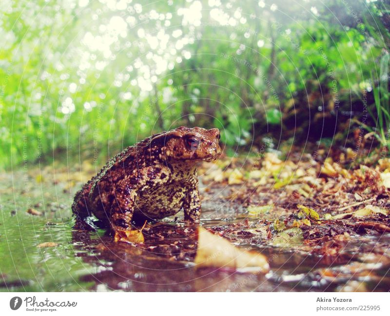 toad weather Nature Earth Plant Bushes Garden Animal Wild animal Painted frog Common toad Amphibian 1 Illuminate Looking Sit Wait Near Wet Natural Strong Brown