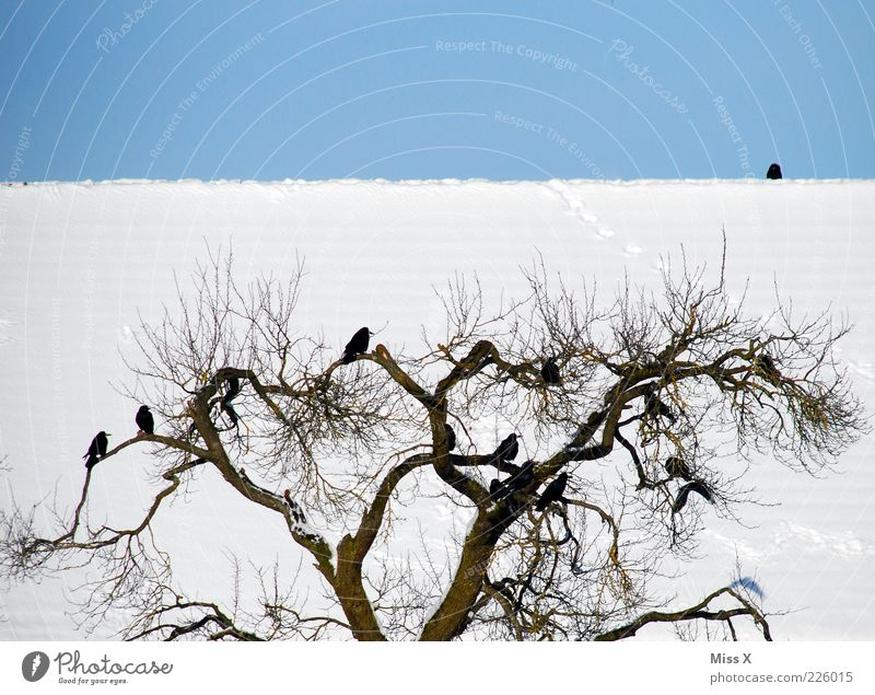 Tree Winter Animal Cold Bird Sit Wild animal Roof Beautiful weather Treetop Blue sky Weather Flock Twigs and branches Crow Cloudless sky