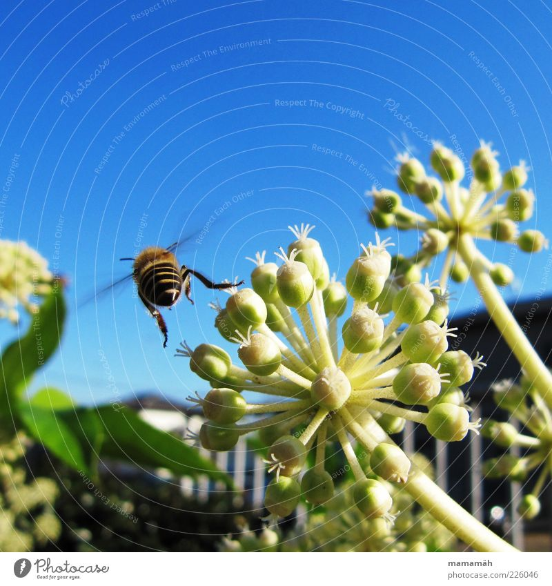 I'm gonna take off. Animal Bee Flying Flower Plant Sky Insect Pollen Summer Freedom Close-up Rear view Motion blur 1