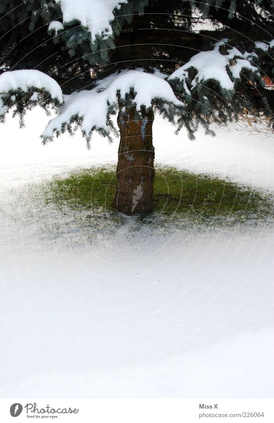 Small spot of green Winter Snow Cold Green White Fir tree Christmas tree Tree trunk Spruce Lawn Meadow Grass Colour photo Exterior shot Deserted