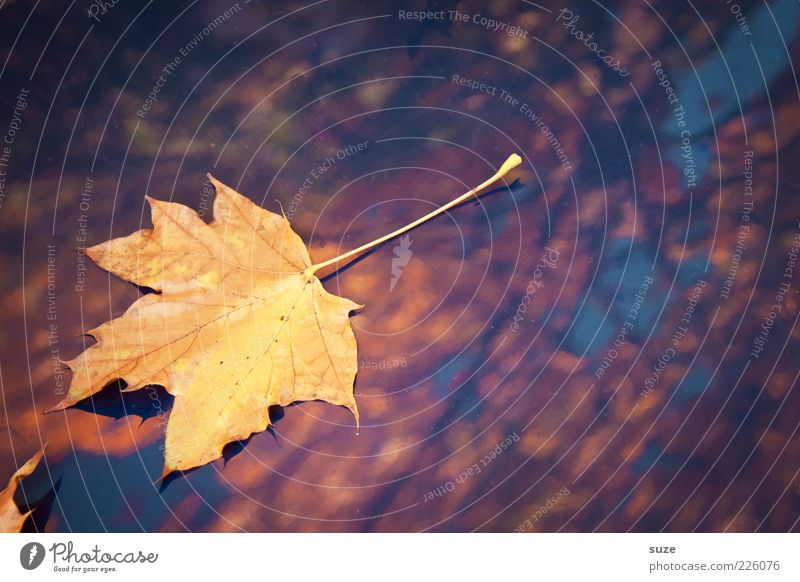 Nature Beautiful Plant Leaf Yellow Autumn Lie Weather Gold Glittering Illuminate Esthetic Individual Seasons Autumn leaves Autumnal