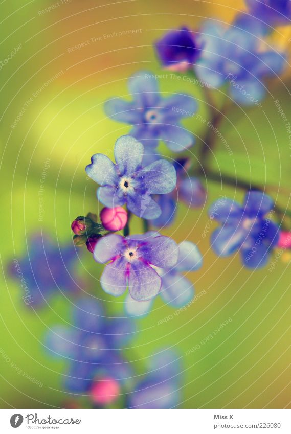 Don't forget. Plant Spring Summer Flower Blossom Blossoming Growth Play of colours Colour Blossom leave Forget-me-not Blue Violet Bud Colour photo Exterior shot