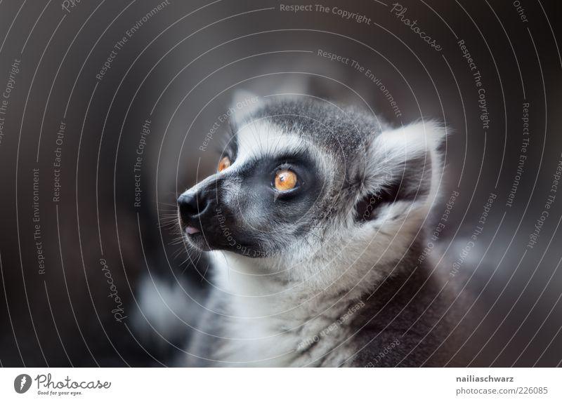 White Black Eyes Animal Gray Orange Esthetic Ear Animal face Observe Pelt Zoo Wild animal Snout Perspective Baby animal