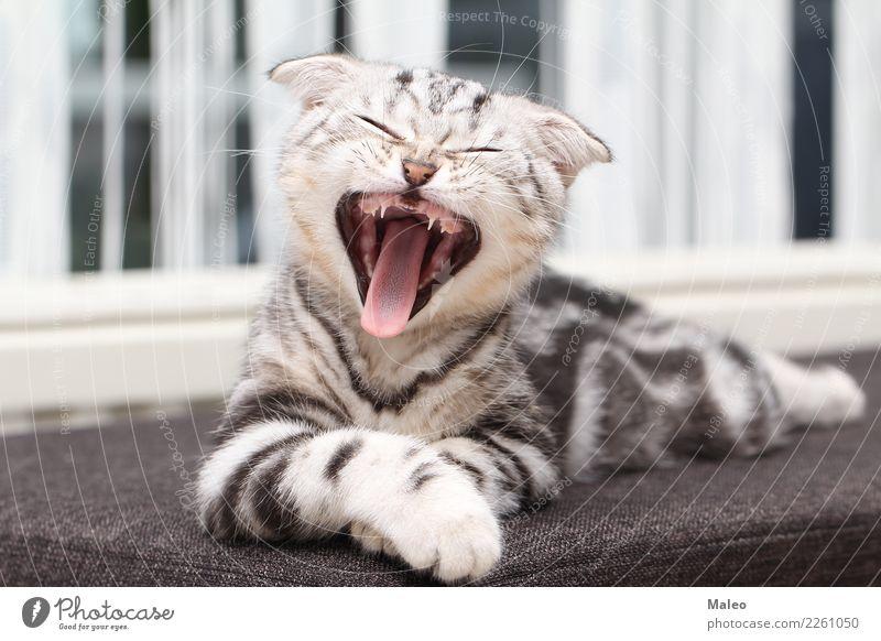 The kitten yawns Animal portrait Beautiful Purebred Domestic cat English Short-haired Kitten Yawn Cat eyes Small Pet Gray endearing Mammal Honey Sit young