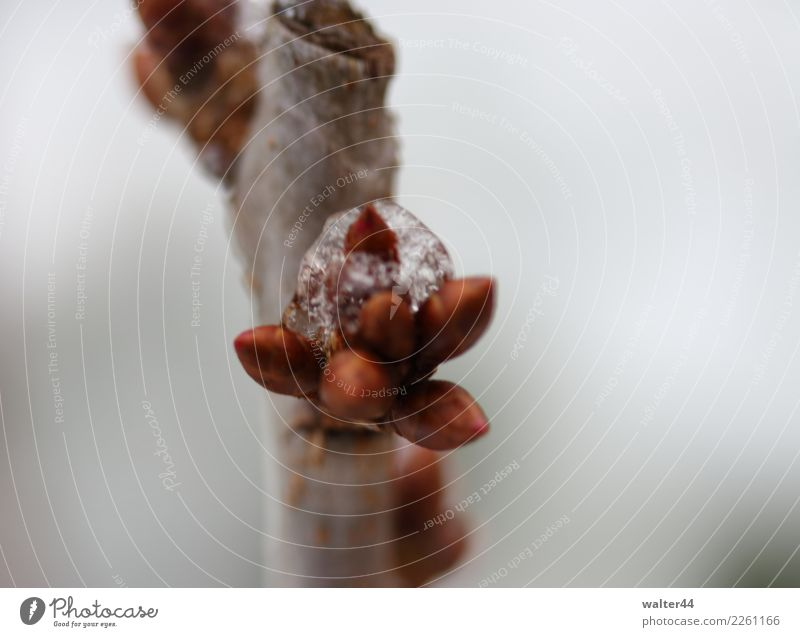 cherry Environment Nature Plant Weather Ice Frost Snow Tree Garden Red Cherry tree Bud Colour photo Exterior shot Close-up Day Shallow depth of field