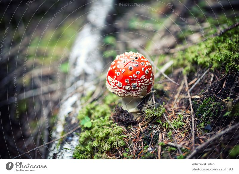 Bob the fly agaric Plant Small Red Poison Mushroom Amanita mushroom Mushroom cap Nature Colour photo