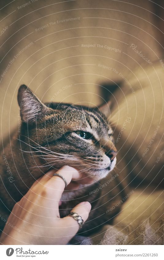 European tabby cat enjoying strokes from a girl's hand. Animal Pet Cat Animal face 1 Touch To enjoy Love Cool (slang) Happiness Beautiful Cuddly Natural Brown