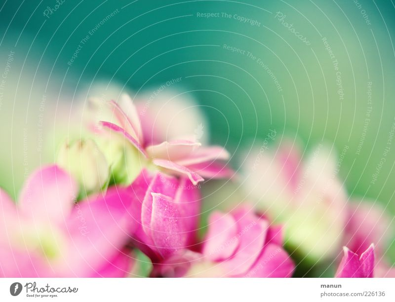 Nature Beautiful Plant Flower Blossom Spring Bright Pink Delicate Fragrance Smooth Blossom leave Green Summery Spring fever Spring flower