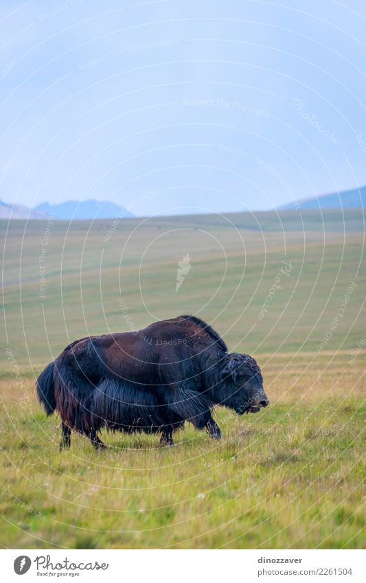 Black male yak in the meadow Vacation & Travel Snow Mountain Hiking Man Adults Culture Nature Landscape Animal Clouds Grass Meadow Fur coat Cow Wild Blue Brown