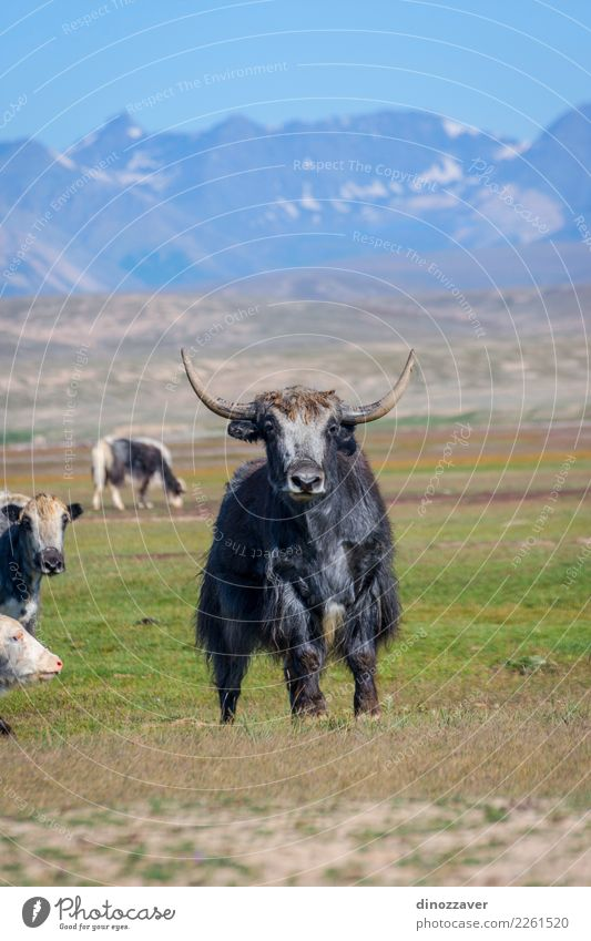 Male yak in the pasture, Kyrgyzstan Vacation & Travel Snow Mountain Hiking Man Adults Culture Nature Landscape Animal Clouds Grass Meadow Fur coat Cow Wild Blue