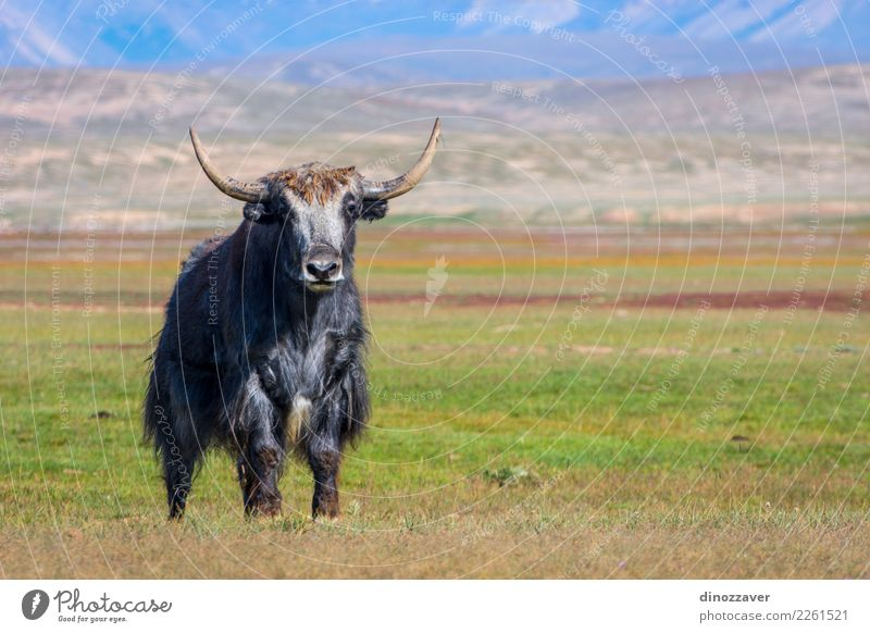 Male yak in the pasture, Kyrgyzstan Vacation & Travel Snow Mountain Hiking Culture Nature Landscape Animal Clouds Grass Meadow Fur coat Cow Wild Blue Brown