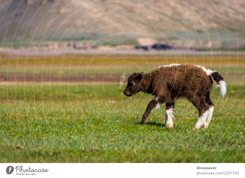 Baby yak in the pasture Vacation & Travel Snow Mountain Hiking Culture Nature Landscape Animal Clouds Grass Meadow Fur coat Cow Baby animal Wild Blue Brown