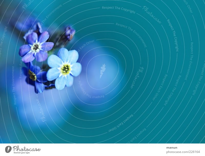 UNFORGETTABLE Nature Spring Plant Flower Blossom Forget-me-not Spring flower Fragrance Authentic Simple Beautiful Natural Blue Spring fever Colour photo