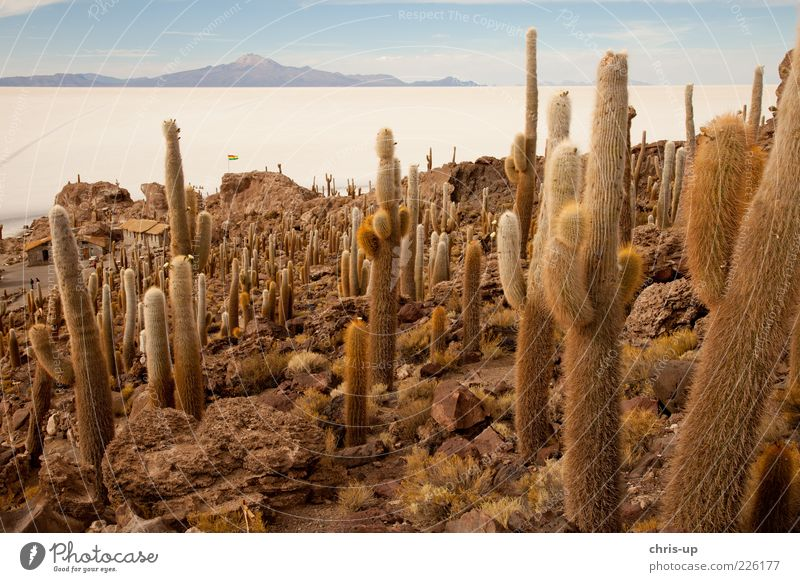 Cacti and salt lake Vacation & Travel Tourism Far-off places Freedom Expedition Island Mountain Environment Nature Landscape Plant Cactus Andes Desert Dry