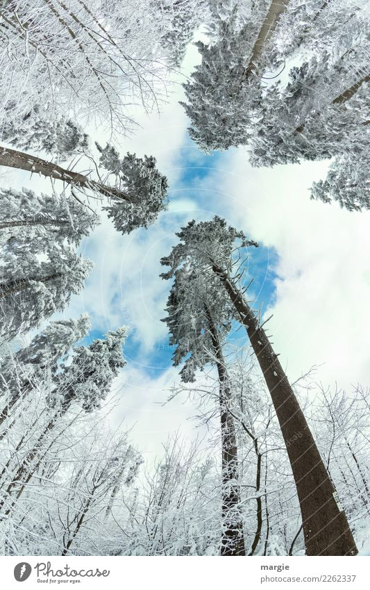 addicted Environment Nature Winter Climate Beautiful weather Ice Frost Snow Snowfall Foliage plant Forest Blue White Coniferous trees Coniferous forest