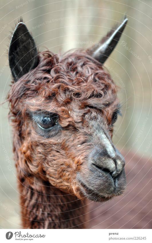 Animal Eyes Brown Ear Animal face Pelt Mammal Muzzle Farm animal Camel Curly Even-toed ungulate Llama