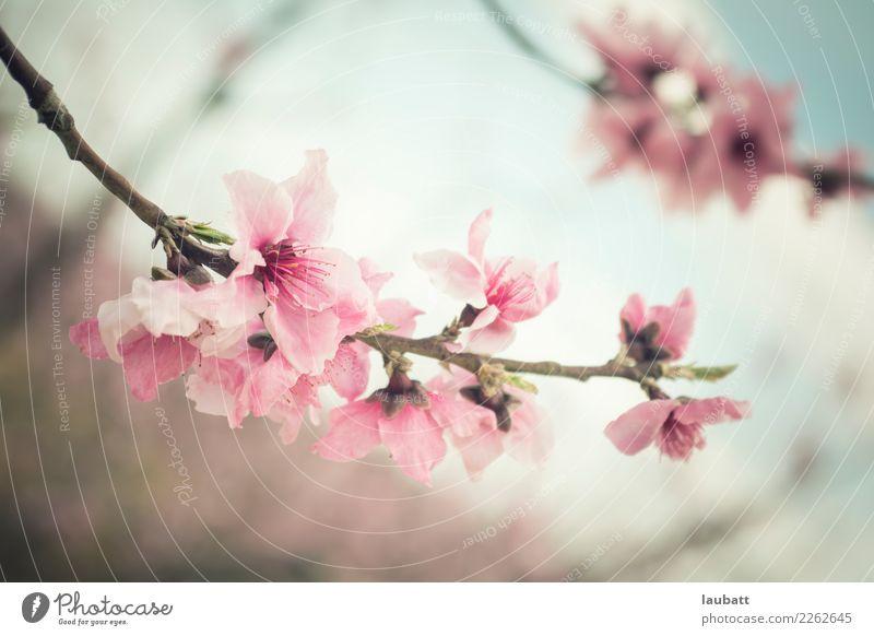 Almond blossom - Sakura Cherry Blossom Festival Nature Winter Almond tree Cherry blossom Cherry tree Wild Beginning Contentment Success Advancement Joy