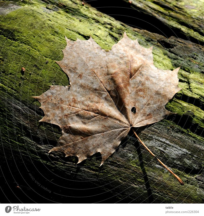 Nature Green Plant Leaf Autumn Environment Wood Brown Lie Natural Dry Tree trunk Moss Maple tree Rachis Limp