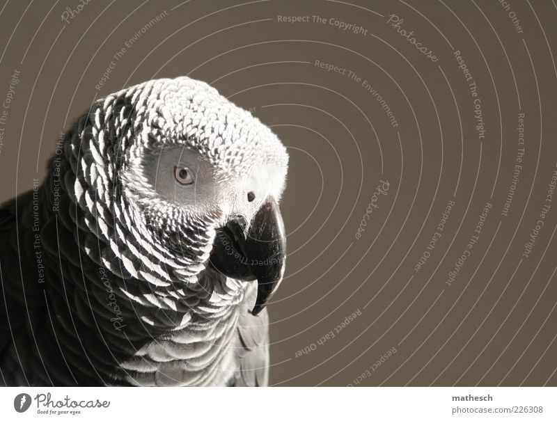 . Animal Bird Animal face 1 Exotic Wild Gray Parrots Grey Parrotlet Colour photo Close-up Copy Space right Neutral Background Day Contrast Animal portrait