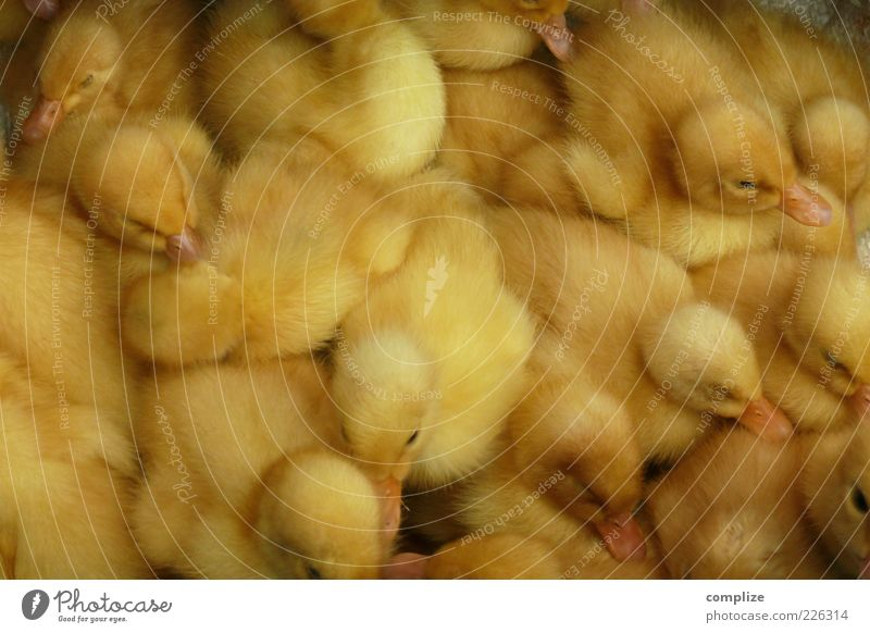 Child Animal Yellow Baby animal Bird Group of animals Wing Many Farm Near Organic produce Ecological Duck Narrow Farmer Farm animal