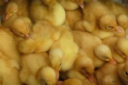 Child Animal Yellow Baby animal Bird Group of animals Wing Many Farm Near Organic produce Ecological Duck Narrow Farmer Farm animal