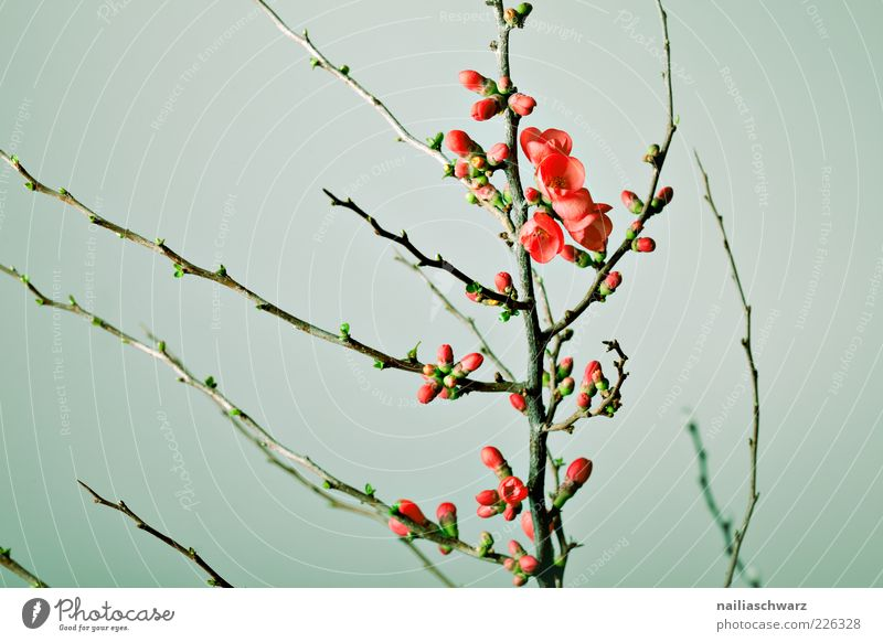 cherry blossoms Environment Nature Plant Spring Flower Blossom Branch Twig Cherry tree Cherry blossom Blossoming Esthetic Green Red Beginning Colour photo