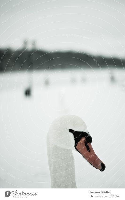 White Winter Cold Snow Bird Wild animal Animal face Observe Neck Beak Swan Snow layer Malchow