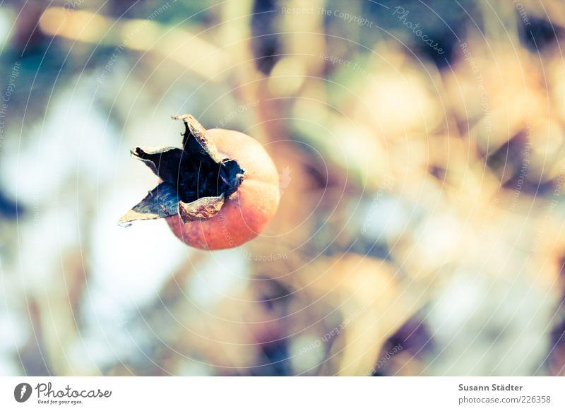 Nature Autumn Dry Shriveled Autumnal Rose hip