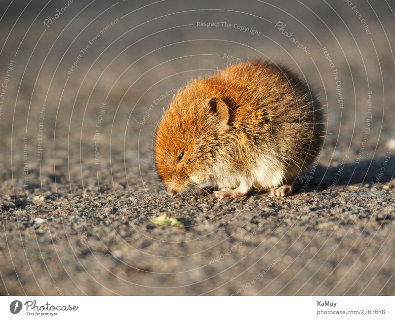 Close-up of a vole Nature Animal Wild animal Mouse Field vole Rodent 1 Sit Wait Small Cute Brown Environment arvicolinae laterally mice Individual wildlife