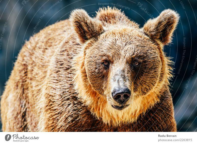 Brown Bear (Ursus Arctos) Portrait Nature Landscape Animal Environment Wild Wild animal Mammal European Animal face Aggression Nordic Alaska Carnivore Taiga