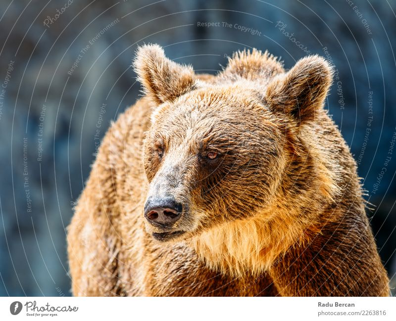 Brown Bear (Ursus Arctos) Portrait Nature Animal Black Wild Wild animal Stand Large Mammal European Animal face Nordic Alaska Carnivore Taiga
