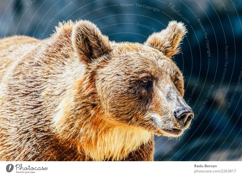 Brown Bear (Ursus Arctos) Portrait Nature Animal Black Wild Wild animal Stand Large Energy Mammal European Animal face Nordic Alaska Carnivore