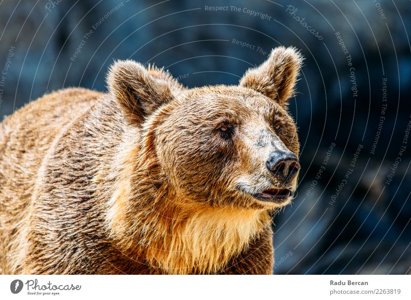 Brown Bear (Ursus Arctos) Portrait Nature Summer Beautiful Animal Forest Black Face Environment Senior citizen Wild Wild animal Power Stand Adventure Dangerous