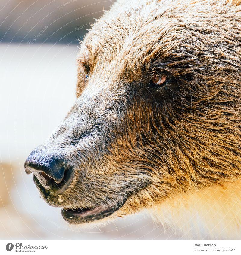 Brown Bear (Ursus Arctos) Portrait Nature Animal Wild animal Animal face 1 Aggression Threat Large Dangerous background wildlife Mammal big Grizzly ursus arctos